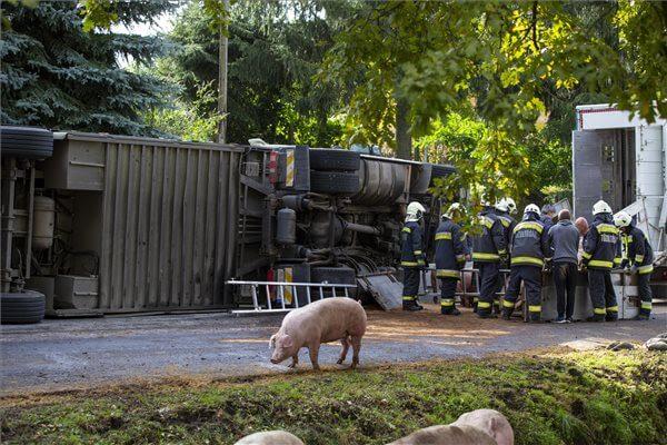 Rengeteg állat elpusztult egy balesetben - Képek